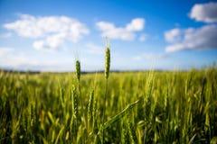 Un campo verde con le spighette, pane si sviluppa contro il cielo blu Agricoltura Ucraina Immagini Stock Libere da Diritti