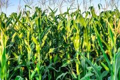 Un campo verde del maíz que crece Imágenes de archivo libres de regalías