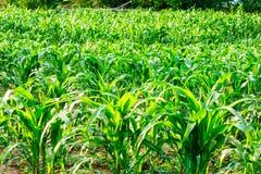 Un campo verde di cereale fotografia stock libera da diritti