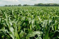 Un campo verde enorme di cereale agricoltura Immagine Stock