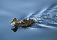 Un canard Photographie stock