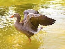 Un canard avec les ailes ouvertes Photo libre de droits