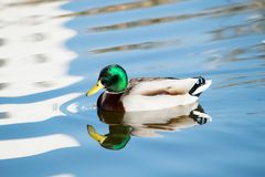 Un canard ayant un bain Photographie stock