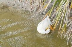 Un canard blanc est picoter de plume photo stock
