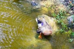 Un canard coloré est picoter de plume photo stock