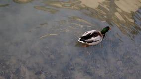 Un canard dans l'eau banque de vidéos