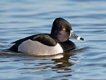 Un canard de Bagué-cou flottant dans l'eau image libre de droits