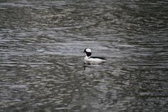 Un canard de Bufflehead photo libre de droits