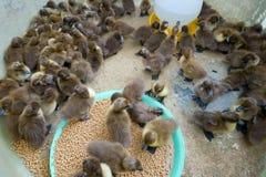 Un canard de groupe à la ferme photos stock
