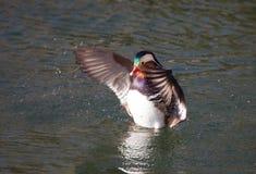 Un canard de mandarine battant ses ailes Photographie stock