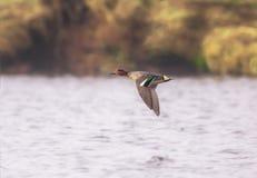 Un canard de Teal image libre de droits