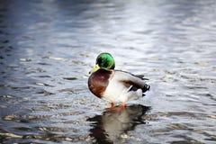 Un canard drôle de lavage en rivière Photos stock