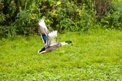 Un canard effrayé volant loin Photo libre de droits