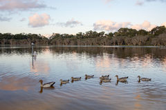 Un canard en caoutchouc rouge aboutit une ligne des canards jaunes Photos stock