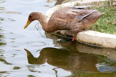 Un canard est prêt à plonger sur l'eau photos libres de droits