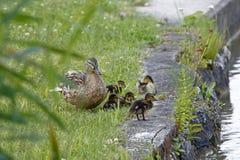 Un canard, femelle, avec de jeunes poulets près de l'eau photo libre de droits