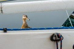 Un canard femelle regarde au-dessus du bord du bateau photo libre de droits