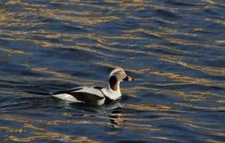 Un canard Long-coupé la queue rare, hyemalis de Clangula masculins dans le plumage d'élevage, en mer en Ecosse Photos stock