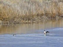 Affichage de accouplement de canard masculin de Bufflehead Photos libres de droits