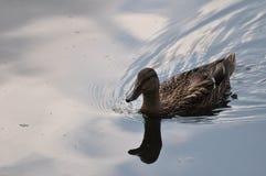 Un canard nage Images libres de droits