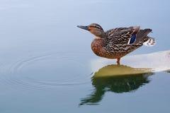 Un canard par l'eau Photographie stock libre de droits