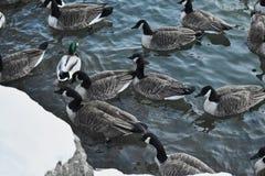 Un canard parmi des oies photographie stock libre de droits
