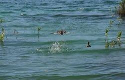 Un canard pilotant 2 Photo stock
