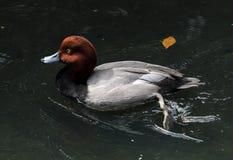 Un canard roux photos stock