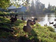 Un canard sauvage Image stock
