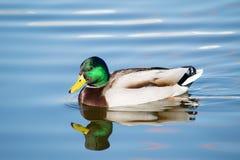 Un canard seul nageant Images libres de droits