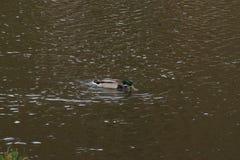 Un canard seulement Mallard dans l'eau Il qu'il ne se déplace pas Photographie stock