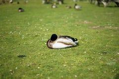 Un canard simple sur l'herbe image stock