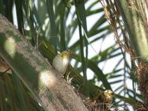 Un canario de los pares - pájaro Fotografía de archivo