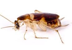 Un cancrelat mort, parasite, vermine photographie stock libre de droits