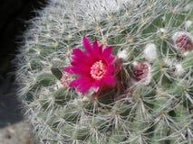 Un canctus del fiore Fotografia Stock Libera da Diritti