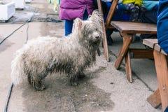 Un cane abbandonato o perso chiede alimento dalla gente Cane randagio infelice Cane bianco bagnato e sporco sulla via starving fotografia stock