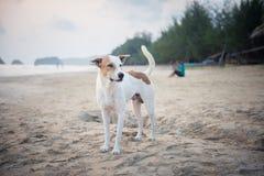 Un cane bianco alla spiaggia Immagini Stock