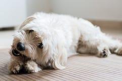 Un cane bianco che mangia un bastone dentario Fotografia Stock Libera da Diritti