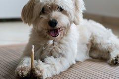 Un cane bianco che mangia un bastone dentario Immagini Stock