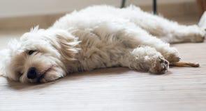 Un cane bianco che mangia un bastone dentario Fotografie Stock Libere da Diritti