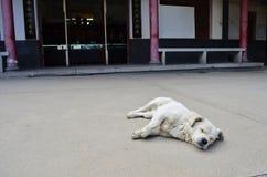 Un cane bianco che prende un pelo Fotografie Stock