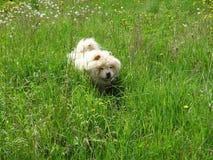 Un cane bianco del chow-chow nell'erba immagini stock