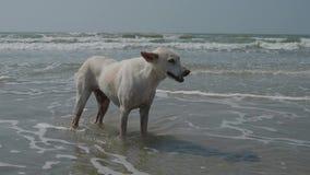Un cane bianco smarrito cammina da solo lungo la riva dell'Oceano Indiano 4K stock footage