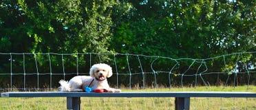 Un cane, Bichon Frise, si trova sulla tavola Fotografie Stock