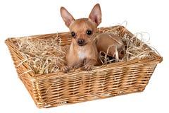 Un cane in un canestro con paglia Fotografie Stock Libere da Diritti