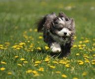 Un cane che funziona in un campo. Fotografie Stock Libere da Diritti