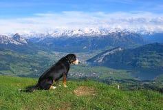 Un cane che osserva giù Fotografia Stock