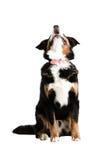 Un cane che si siede in su e che scorteccia fotografia stock libera da diritti