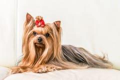 Un cane che si trova sul sofà Fotografia Stock
