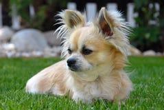 Un cane - chihuahua Immagini Stock